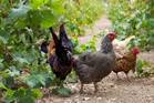 Chickens peck at the ground in between the rows of grapes, thus aerating the soil. Photo/Thinkstock.