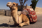 A camel resting in Jerusalem. Photo / Thinkstock