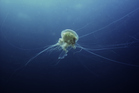 The new species was related to the lion's mane jellyfish (pictured), the largest known species of the marine animal in the world. Photo / Thinkstock