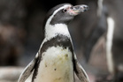Humboldt penguins come from Peru and Chile but have been upset by the incessant rain in England.