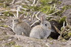 Wild European rabbits. Photo / Thinkstock