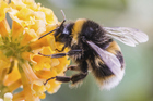 Scientists have uncovered new facts about the bumblebee's flight. Photo / Thinkstock