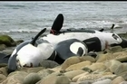 The stranding of nine orca in Southland is only the third such mass stranding of the species recorded in New Zealand, a specialist researcher says. Orca Research Trust founder and principal scientist Ingrid Visser said nine of the creatures, including a calf, its mother and at least one adult male, died after stranding themselves