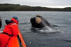 Scientists observe a southern right whale off the coast of the Auckland Islands. Photo / University of Otago