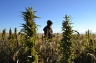 Hemp Is making a comeback in Colorado. Photo / AP