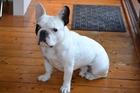 French bulldogs were previously banned on international Qantas flights, due to the breed's respiratory problems.