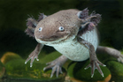 The axolotl has a slimy tail, plumage-like gills and mouth that curls into an odd smile. Photo / Thinkstock