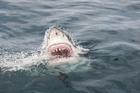 A great white shark. Photo / Thinkstock
