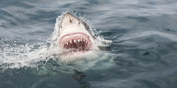 Loading A great white shark. Photo / Thinkstock