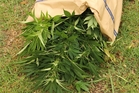 A rubbish sack stuffed with cannabis plants seized in the Mid North phase of the drugs operation. Photo/Peter de Graaf