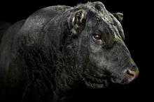 'Turihaua Rex E297, Trihaua Angus, Gisborne 2013 (From the 'Bull Market' series) 2013.