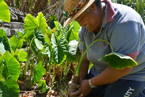 Teina Tangimetua, at the Sustainable Living Centre garden, is well versed in growing and cooking taro.