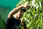 Heilala Vanilla founder John Ross in the company's vanilla plantation in Tonga.