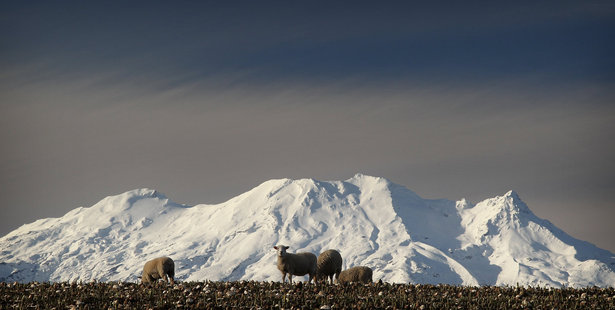 Sheep enjoy a meal of turnips in the late afternoon sun, in a paddock near Raetihi. Photo / Greg Bowker