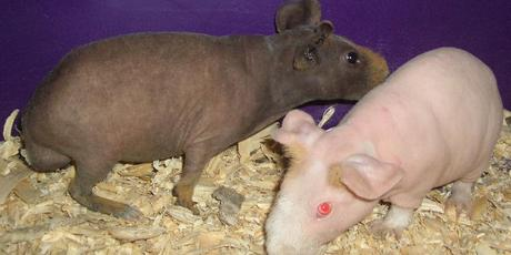 Would you have an unusual looking skinny pig as a pet? Photo / Creative Commons