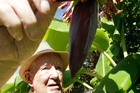Steve Clotworthy with his ripening bananas. Photo/Bevan Conley