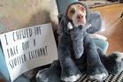 Maymo a lemon beagle posing for a shame illustration. Photo / Jeremy Lakaszcyck/AP
