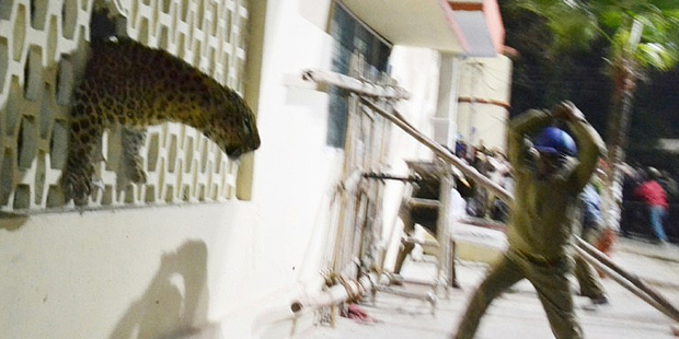 A leopard squeezes through a hole in the wall of the Meerut Cantonment Hospital as an official approaches in Meerut. Photo / AFP