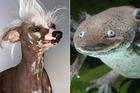 Spiders, hairless dogs and axolotls aren't your usual cute and cuddly pets. Photo / Thinkstock