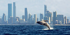 Humpback whales on the Gold Coast. Photo / Supplied