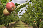 Pipfruit NZ is hopeful building a better relationship with Indian growers will provide better access, including a tariff-free window when no Indian fruit is available. Photo: Warren Buckland.