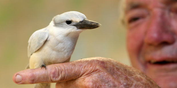 NorthPower native bird recovery chairman Robert Webb with a rare white-coloured Kingfisher. Photo / Northern Advocate / Michael Cunningham