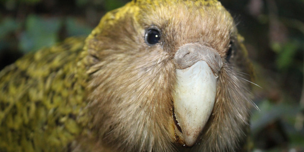 Several centuries ago plump kakapo like this were among the most numerous New Zealand birds. Photo / Supplied