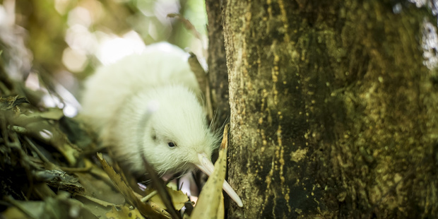 A newly hatched white kiwi which was found at Pukaha Mount Bruce earlier this year. Photo / Mike Heydon