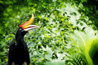 Rhinoceros hornbills are the state bird of Sarawak. Photo / 123RF