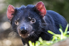 Tasmanian devils will eat everything in sight. Photo / Getty Images
