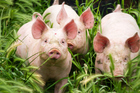 Using pig bladders, the team developed a technique to track the tiny movements made by the bladder wall during its accommodation of incoming urine. Photo / Thinkstock