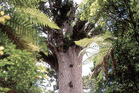 The majestic Tane Mahuta is best visited at night and with a local guide. Photo / Supplied