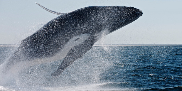 Nearly 500 researchers from 30 countries have signed a letter to the International Whaling Commission's scientific committee, calling on it to reject the plan. Photo / File