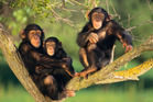 Research shows chimps possess the mental skills needed to cook food, other than knowing how to control fire. Photo / Thinkstock