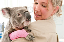 An injured koala at the Currumbin Wildlife Sanctuary. Photo / Supplied