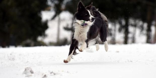 A dog named Bear enjoys the snow at Whare Flat yesterday. Photos / Peter McIntosh, ODT