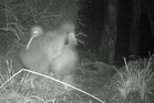 The two male kiwi were captured having a violent stoush amid the undergrowth. Photo / YouTube