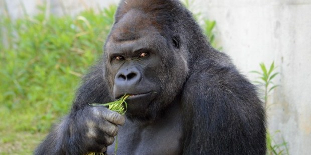 Handsome gorilla Shabani takes a break from posing for a quick snack. Photo / AFP PHOTO / HIGASHIYAMA ZOO AND BOTANICAL GARDENS