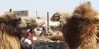 Camels at the Kashgar Livestock Market. Photo / Jim Eagles