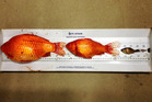 Discarded pet goldfish turn into giants in Canadian waters. Photo / Alberta Environment and Parks