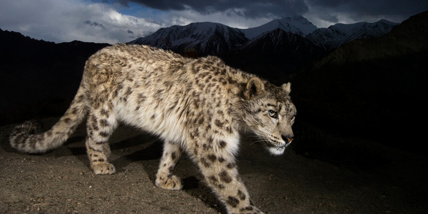 A remote camera captures an endangered snow leopard. Photo: Steve Winter/National Geographic