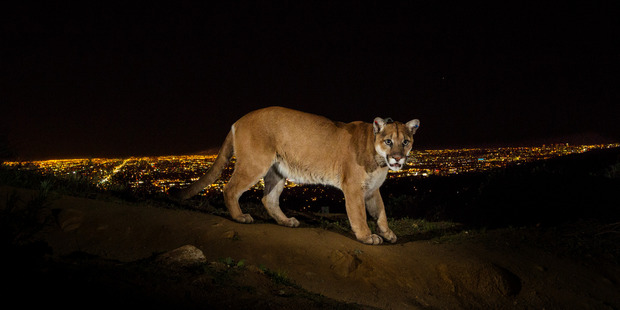 A remote camera captures a radio collared cougar in Griffith Park, Los Angeles. Photo: Steve Winter/National Geographic