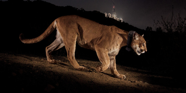 A remote camera captures a radio collared cougar in Griffith Park. Photo: Steve Winter/National Geographic