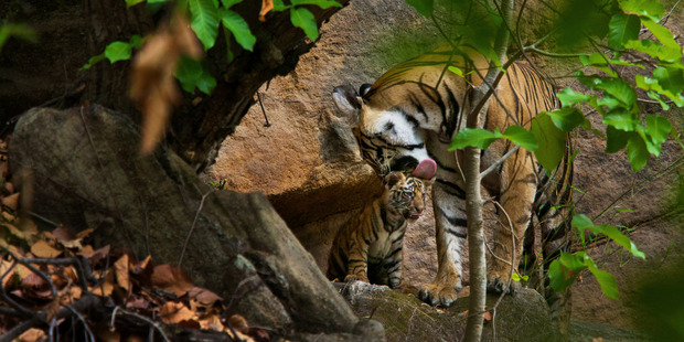 A female tiger grooms her cub near their den om Bandhavgarh National Park , India. Photo: Steve Winter/National Geographic