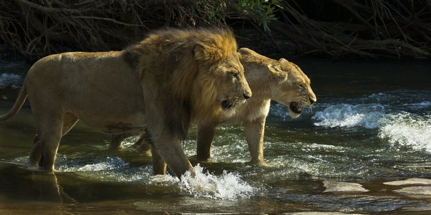 A male and female lion. Photo: Steve Winter/National Geographic