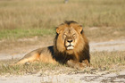 In this undated photo provided by the Wildlife Conservation Research Unit, Cecil the lion rests in Hwange National Park, in Hwange, Zimbabwe. Photo / AP