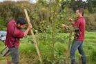 Gardening: Big trees demand a lot of digging