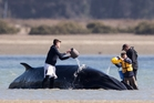 Volunteers attend the Antarctic minke whale at Pt Chevalier. Photo / Dean Purcell