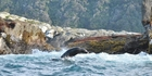 The Dusky and Doubtful Sounds are home to seals. Photo / Bevin Marriner