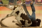 Steers are forced to submit to the actions of cowboys - or have their necks broken. Photo / Alan Gibson